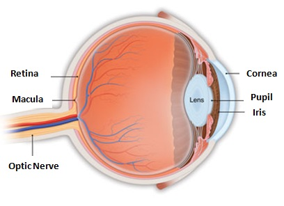 Eye anatomy and eye care